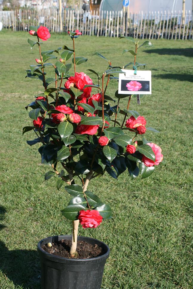 nos camellias japonica floraison hivernale prestavert 39 blog. Black Bedroom Furniture Sets. Home Design Ideas