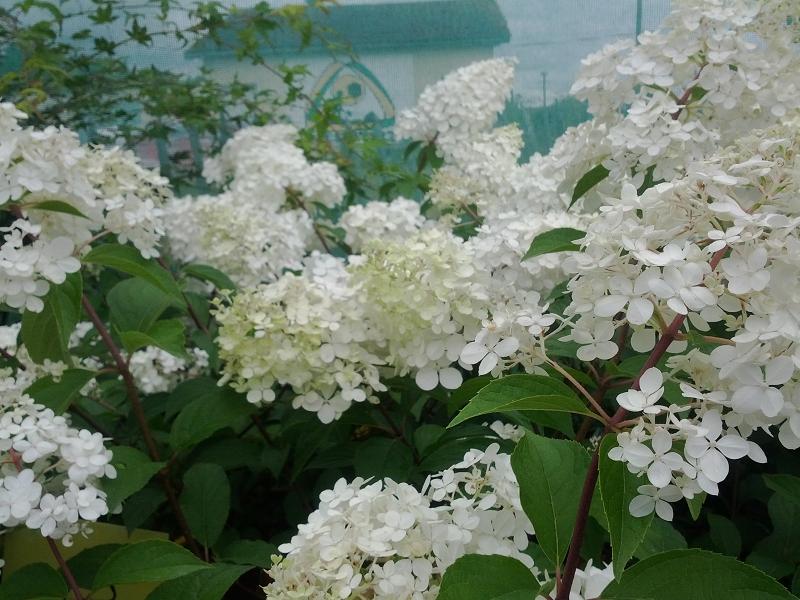 nos hortensias hydrangea boules fleurs plates arborescents et sp cifiques prestavert 39 blog. Black Bedroom Furniture Sets. Home Design Ideas
