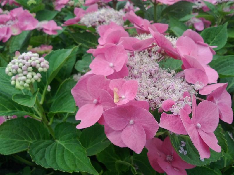 Nos Hortensias Hydrangea Boules A Fleurs Plates Arborescents Et